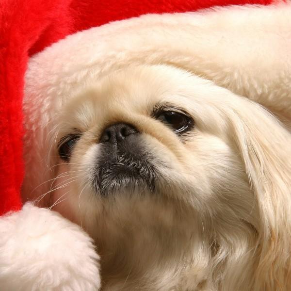 animals dogs santa