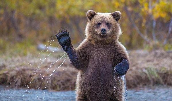 funny bears doing human things