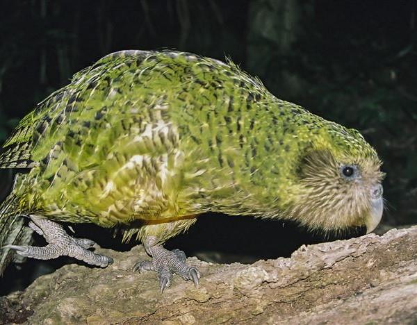 kakapo birth