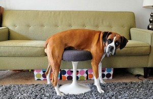 funny dogs and cats stuck in furniture