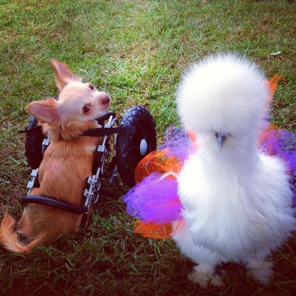 chicken and chiuaua