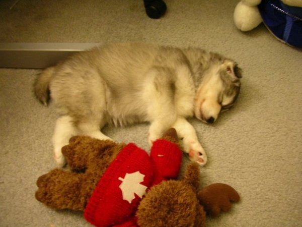 As requested, more pics of my husky raised by cats!