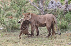 Lioness killed a baboon, what she did next was shocking