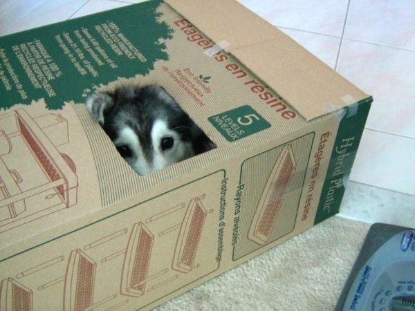 husky raised by cats!