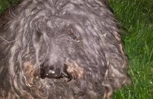 Dreadlock dog