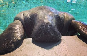 The Worlds Oldest Manatee