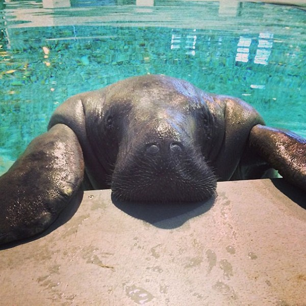 66 year old manatee snooty 4 600x600 the worlds oldest manatee celebrates 66 , happy birthday snooty