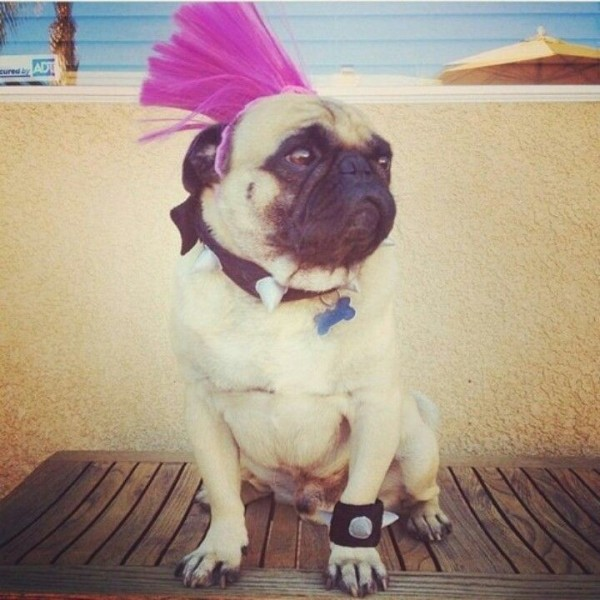 27 Reasons Why Pugs Are Better Than Beyoncé
