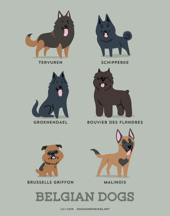 information about dogs - belgian  dogs