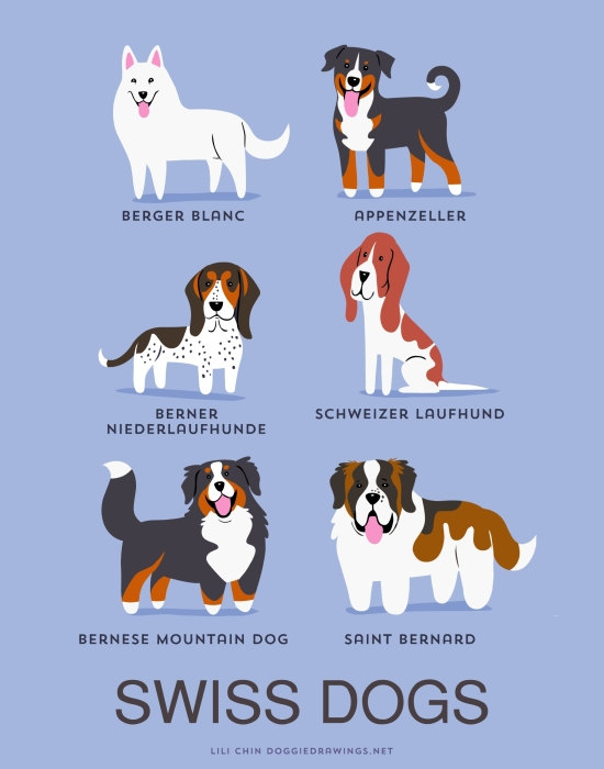 information about dogs - swiss  dogs