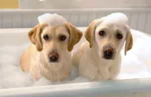golden_retriever_best_buddies_in_bathtub_4