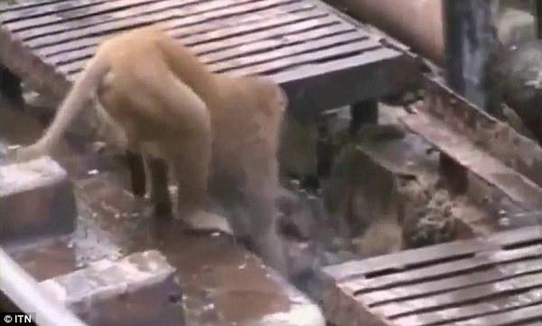 hero monkey saves the day