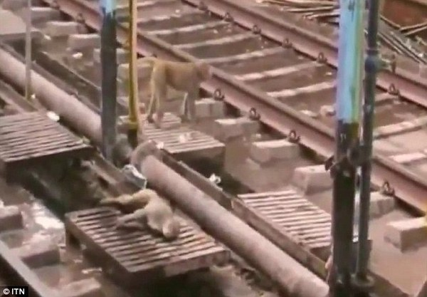 hero monkey saves the day