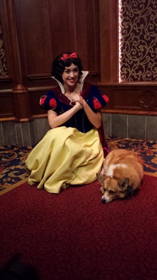 Corgi visiting Disney World