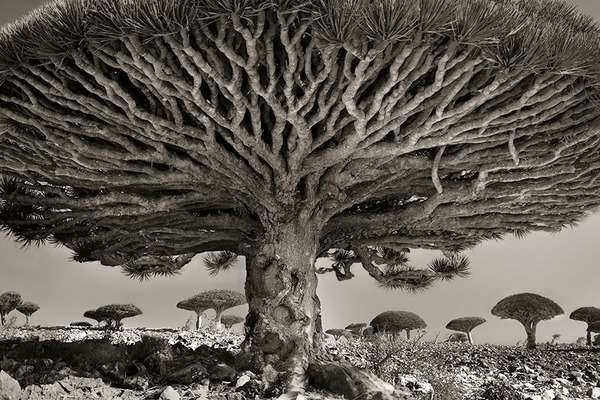 world's ancient trees