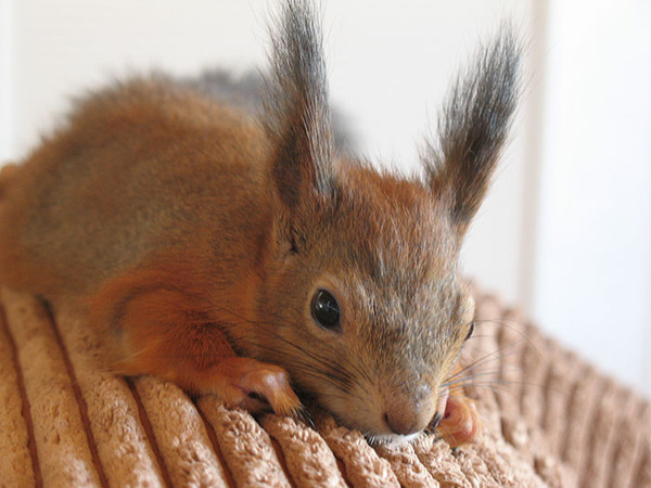 adopted squirll