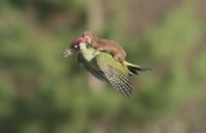 weasel flying on woodpecker
