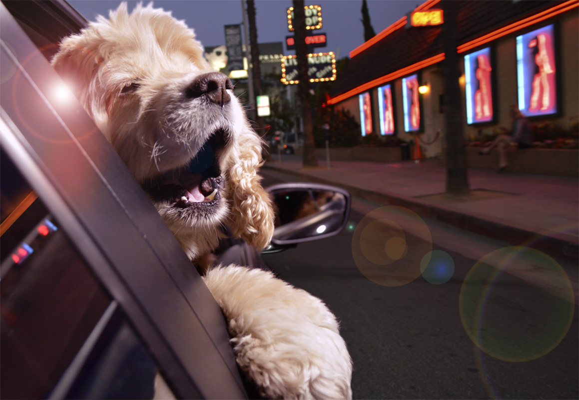 dogs in cars14