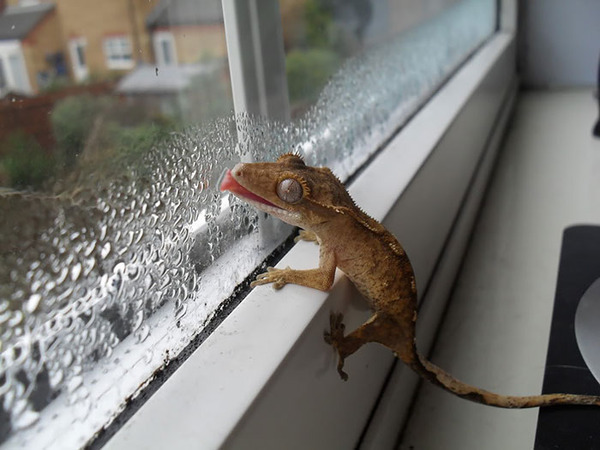 hilarious animals licking glass16