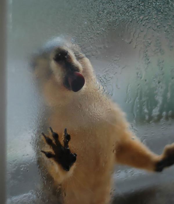 hilarious animals licking glass17
