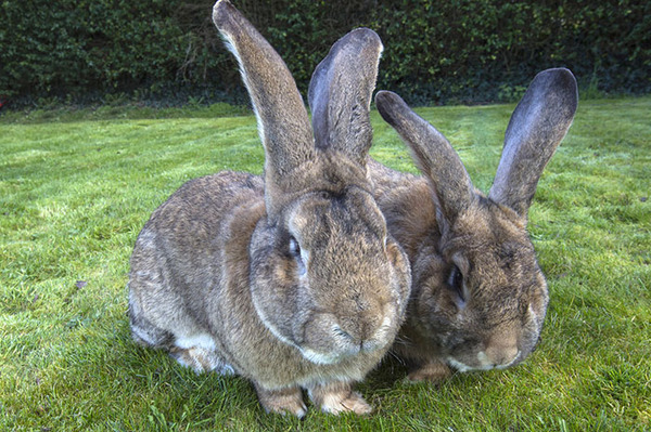darius - the world's largest rabbit