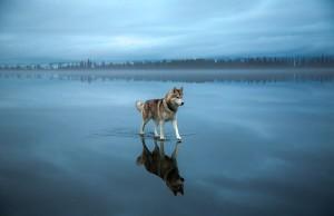 siberian husky frozen lake