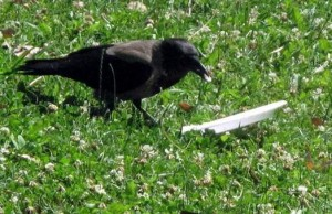 crow cleaning after him 1