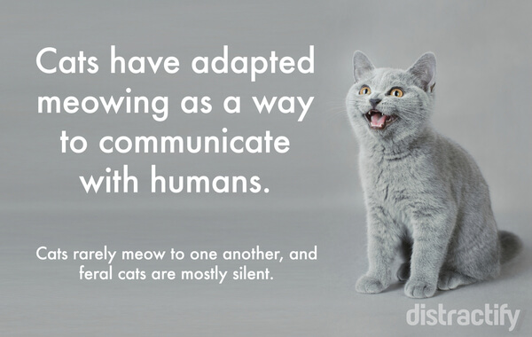 Why Do Cats Mewo For Humans