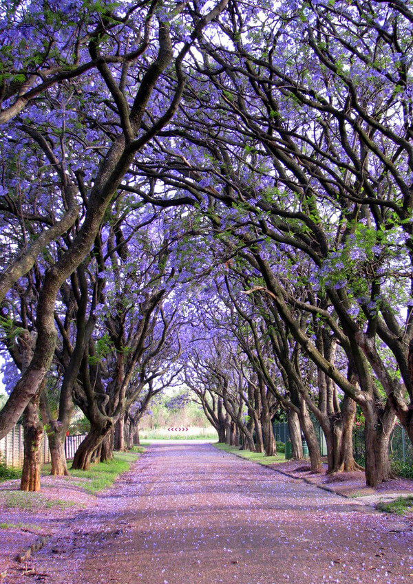 most magnificent trees 16