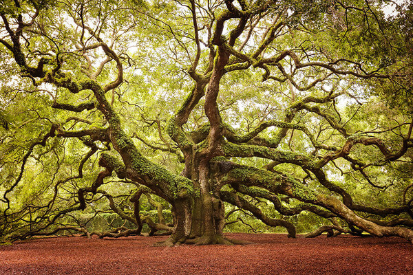 most magnificent trees 9