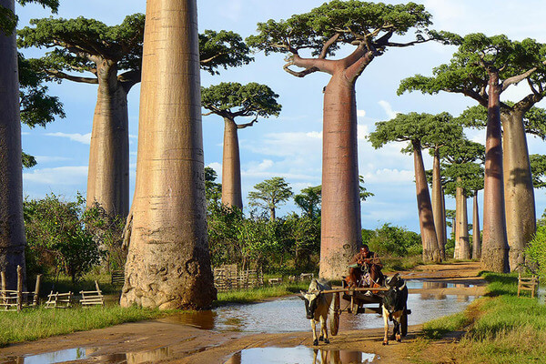 most magnificent trees 18