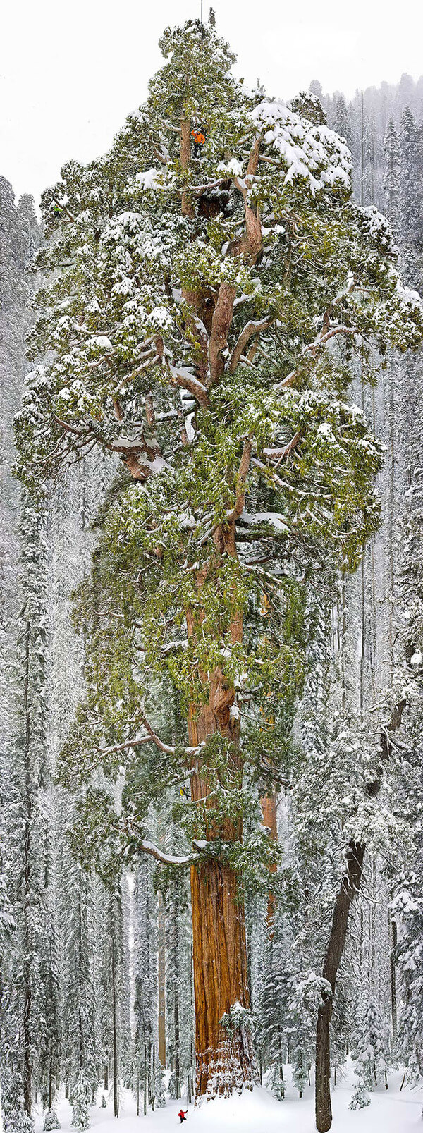 most magnificent trees 12