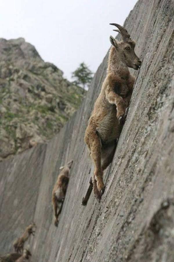 mountain goats climb 1