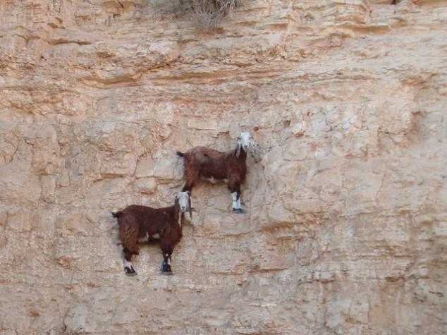 mountain goats climb 3