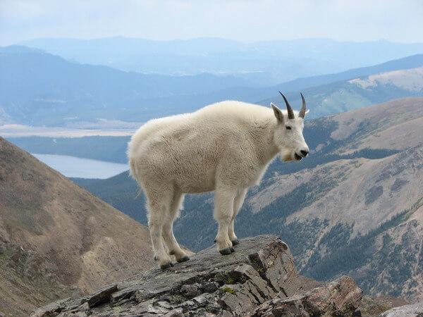 mountain goats climb 9