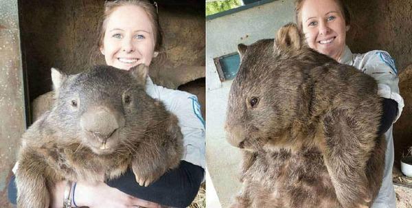 worlds oldest living wombat 6