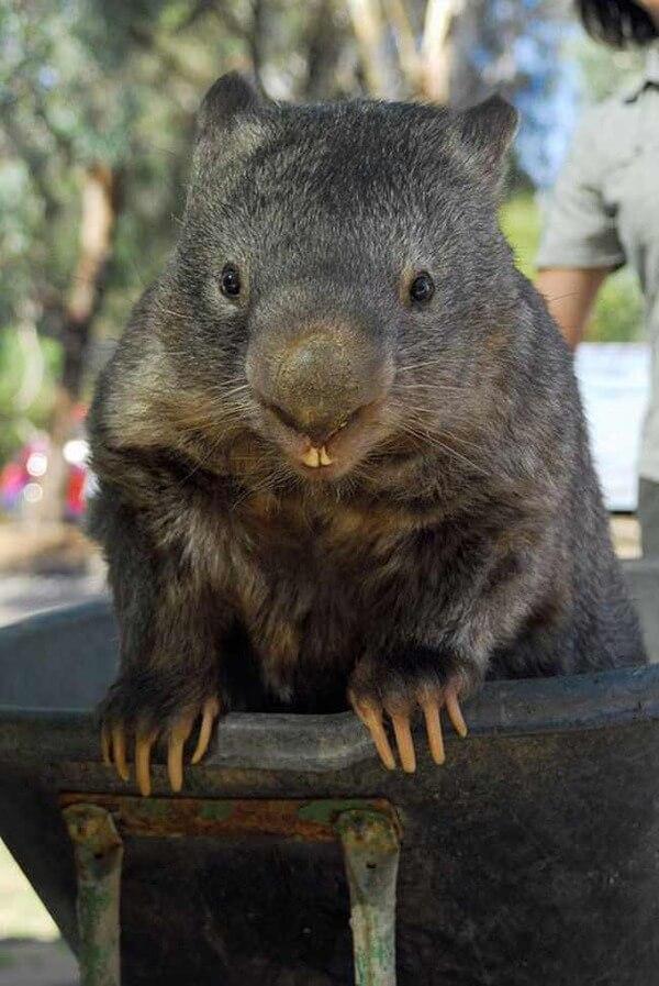 worlds oldest living wombat 7