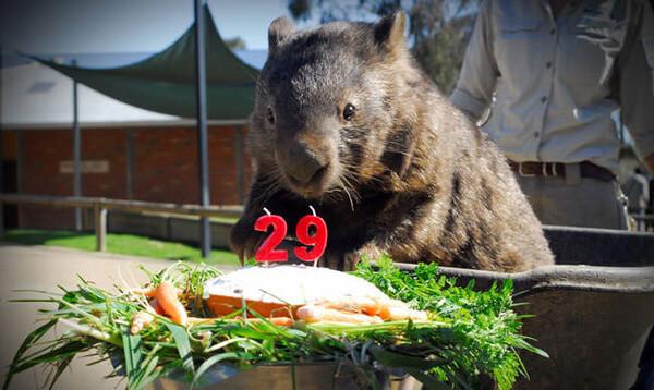 worlds oldest living wombat 10
