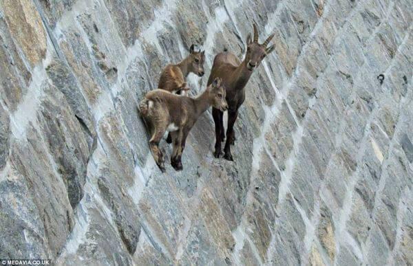 mountain goats climb 2