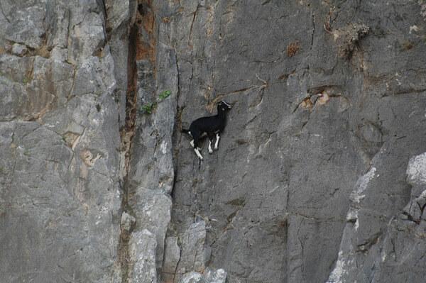 mountain goats climb 14