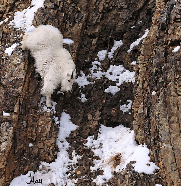 mountain goats climb 17