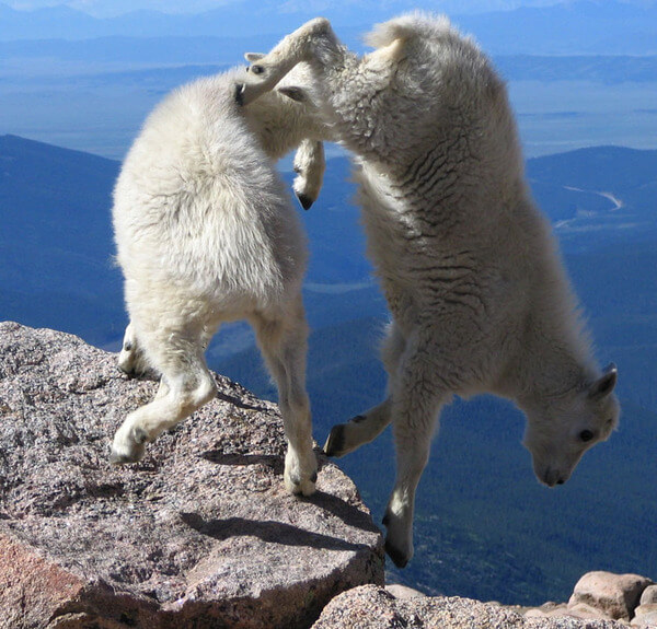 mountain goats climb 15
