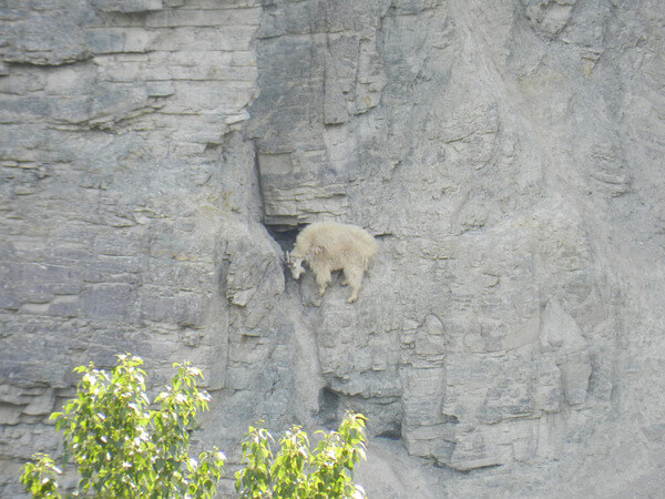 mountain goats climb 12