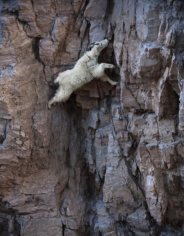 mountain goats climb 20