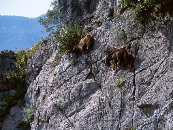 mountain goats climb 16