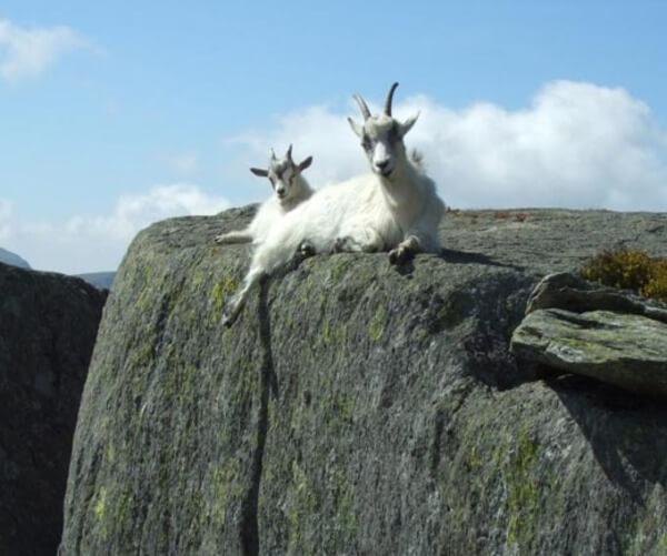 mountain goats climb 7