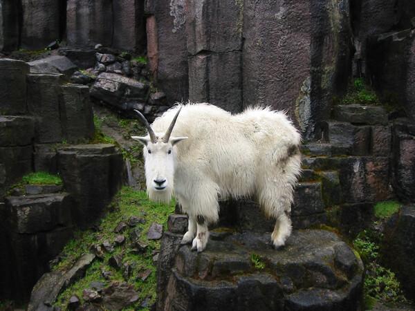 mountain goats climb 5
