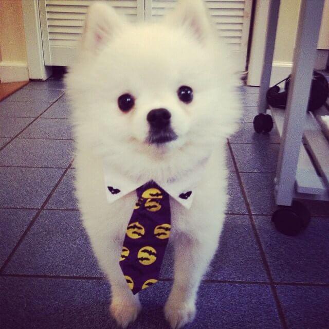 Tiny Pomeranian Puppy huge sneeze 3