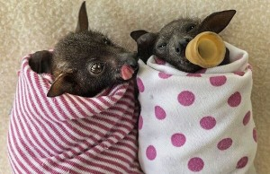 bat-hospital-in-australia-2