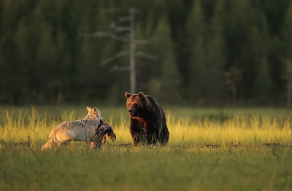 bear wolf friendship 3